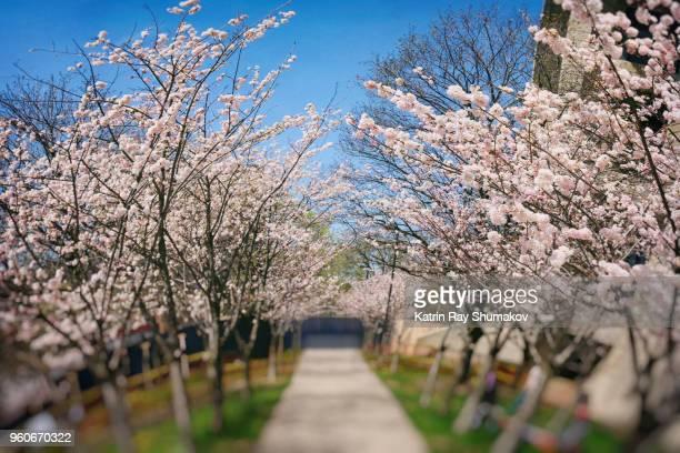 Sakura Planet in Bloom