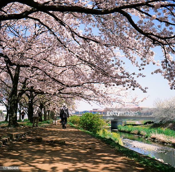 sakura road - hachioji stock pictures, royalty-free photos & images