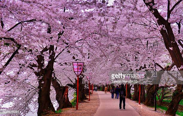 sakura road - hirosaki castle stock pictures, royalty-free photos & images