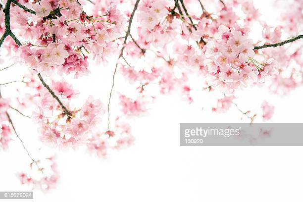 sakura season - cherry blossom in full bloom in tokyo stock pictures, royalty-free photos & images