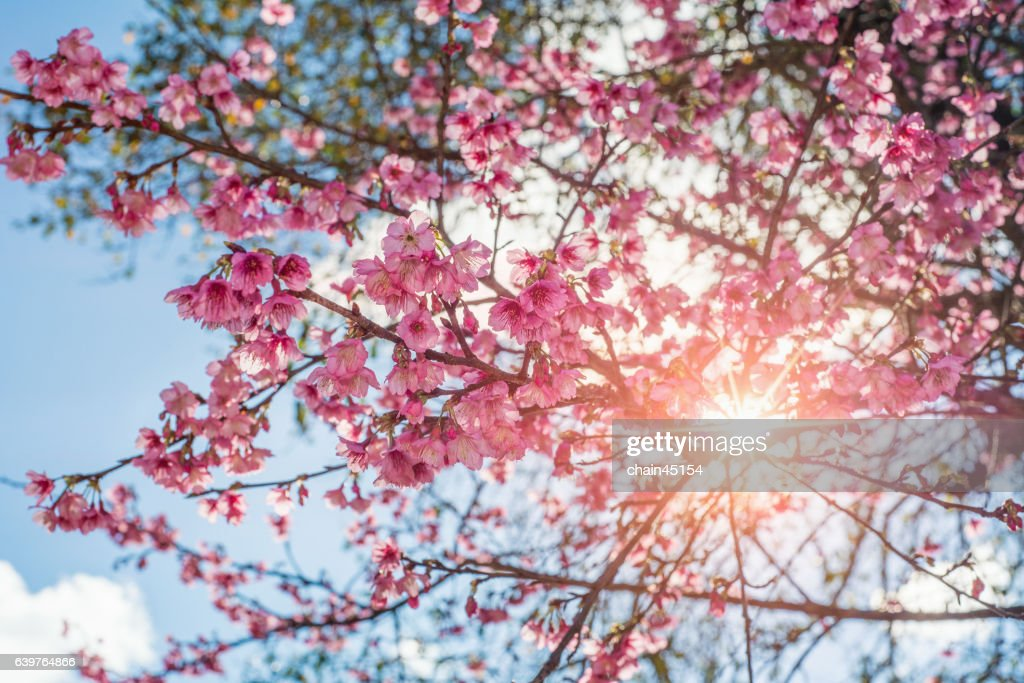 Sakura tree or cherry blossom with the sun. : Stock Photo