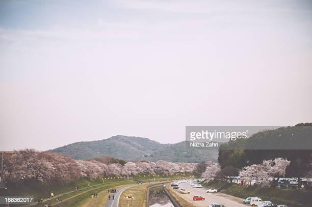 Sakura trees by the river