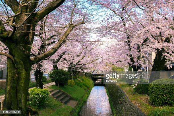 sakura (cherry blossom) trees canal along philosopher's walk (哲学の道) in kyoto (京都) japan - kyoto prefecture stock pictures, royalty-free photos & images