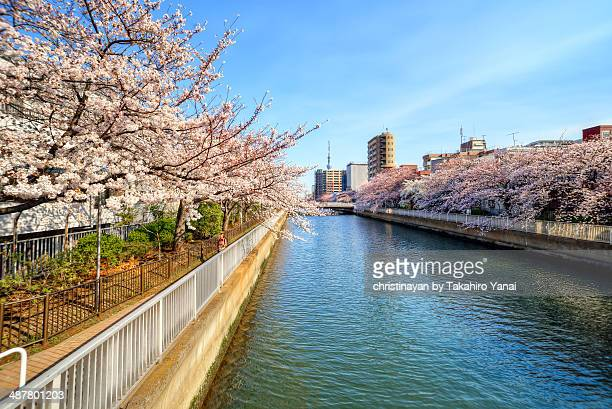 sakura view in koto-ku - christinayan ストックフォトと画像