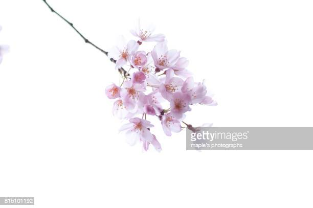 -sakura-cherry blossoms in japan - kanagawa prefecture stock pictures, royalty-free photos & images