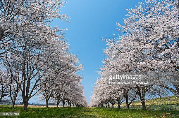 sakuranamiki - iwate prefecture stock photos and pictures