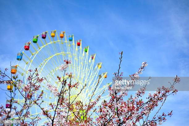 Sakuras and ferris wheel