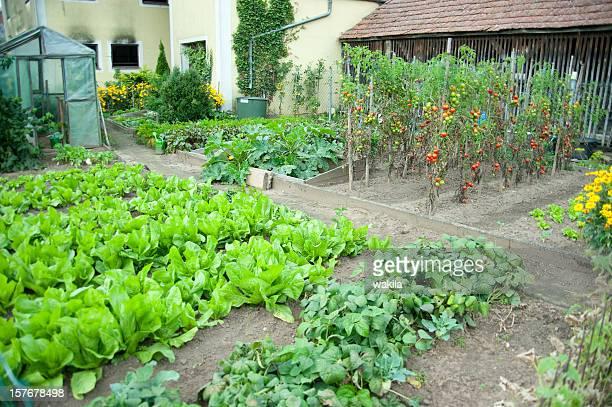 Salate Feld im Garten selber anbauen-Salat