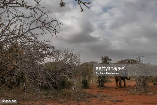 Salama a female African Savannah elephant wakes from sedation after being collared during an elephant collaring operation on February 2 2018 in an...
