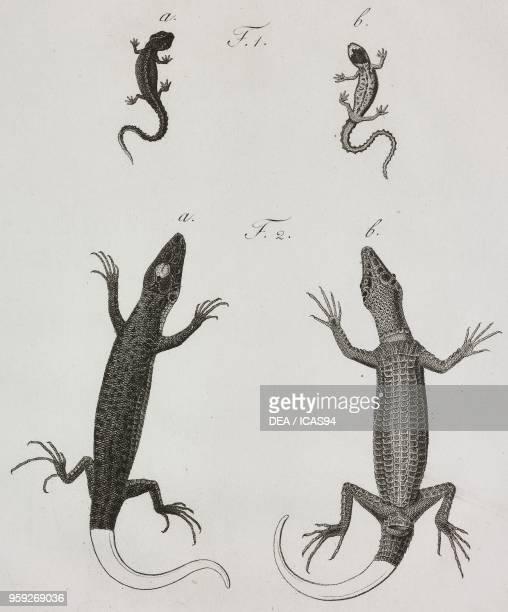 Salamandra lacustris Lacerta acrolampra engraving by Filippo Imperato after a drawing by Antonio Siesto from Atti della Reale Accademia delle Scienze...