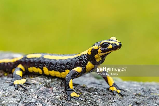 Salamandra salamandra fire salamander
