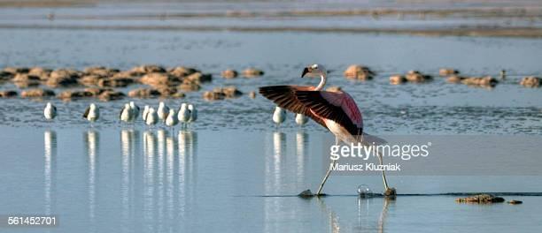 Salar de Atacama lagoon walking flamingo