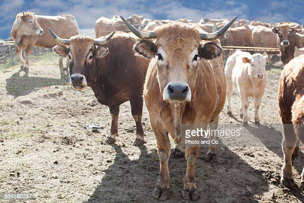 salers cows - vache stock photos and pictures