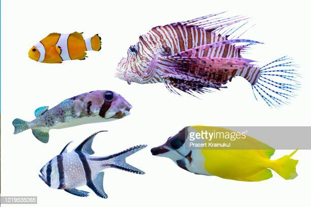 salfwater fish isolated on white background - 熱帯魚 ストックフォトと画像