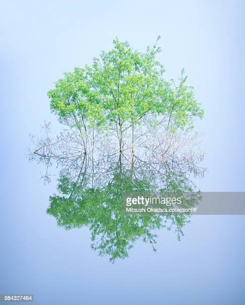Salicaceae trees in lake