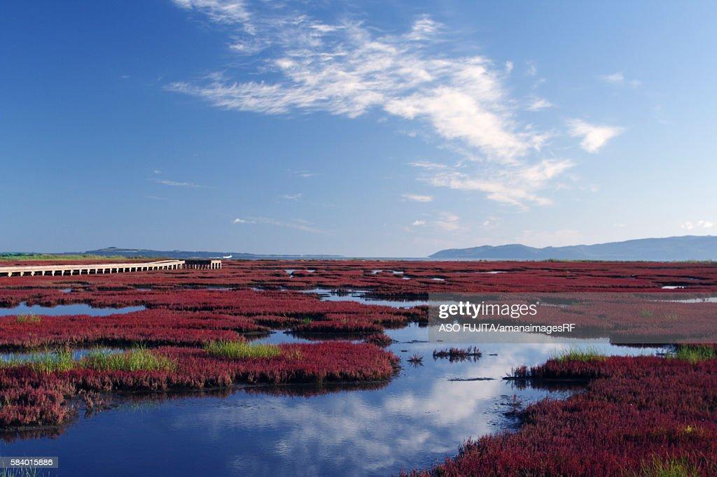 Salicornia at Lake Notoro. Abashiri, Hokkaido Prefecture, Japan : Stock Photo