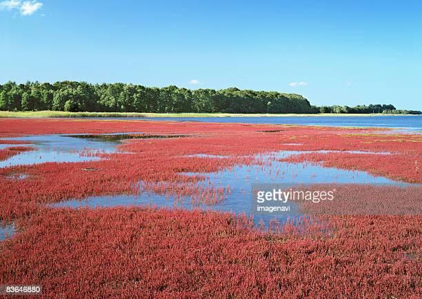 Salicornia field in Lake Saroma