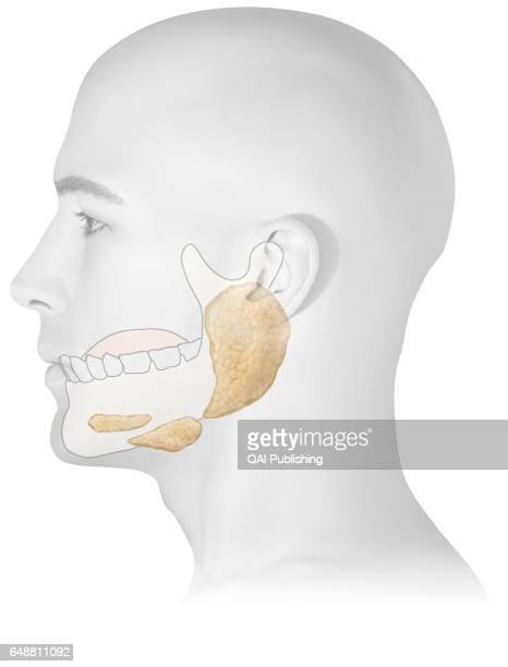 Salivary gland Each of the three pairs of organs secreting a liquid that contains a digestive enzyme it is used to moisten food to facilitate its...