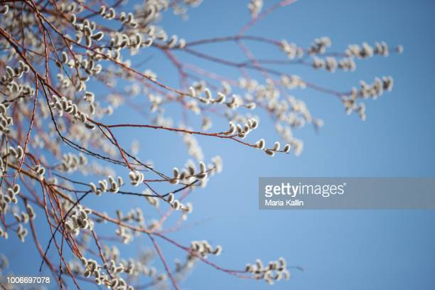 salix caprea willow tree against blue sky - bud stock pictures, royalty-free photos & images