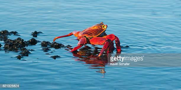 Sally Lightfoot Crab (Grapsus grapsus) in tidepool, Santiago Isl