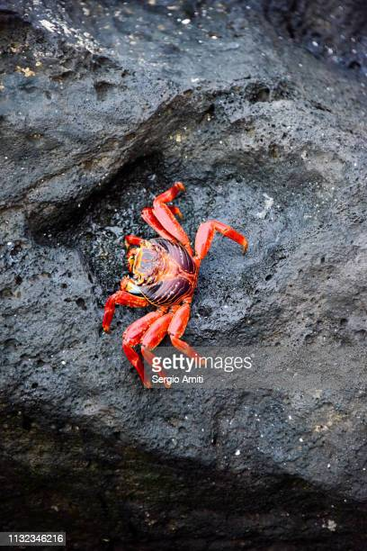 sally lightfoot crab - crab stock pictures, royalty-free photos & images