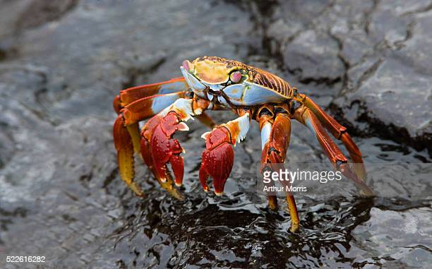 Sally Lightfoot Crab Ready to Attack
