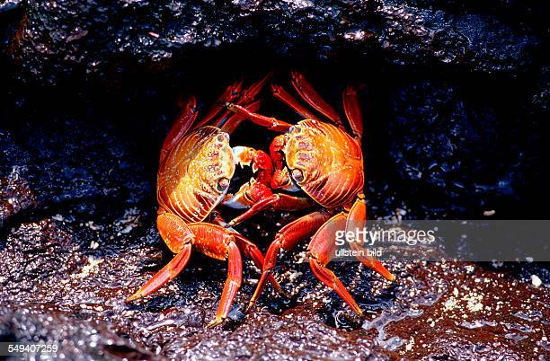 Sally Lightfoot crabs Grapsus grapsus Ecuador South America Galápagos Galapagos Island Pacific Ocean