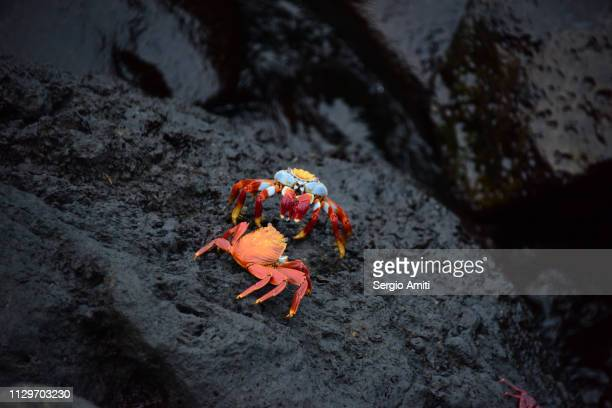 Sally lightfoot crabs on a rock
