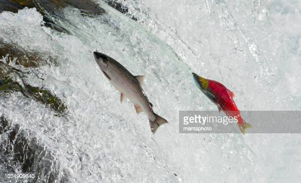 salmon, alaska - tide stock pictures, royalty-free photos & images