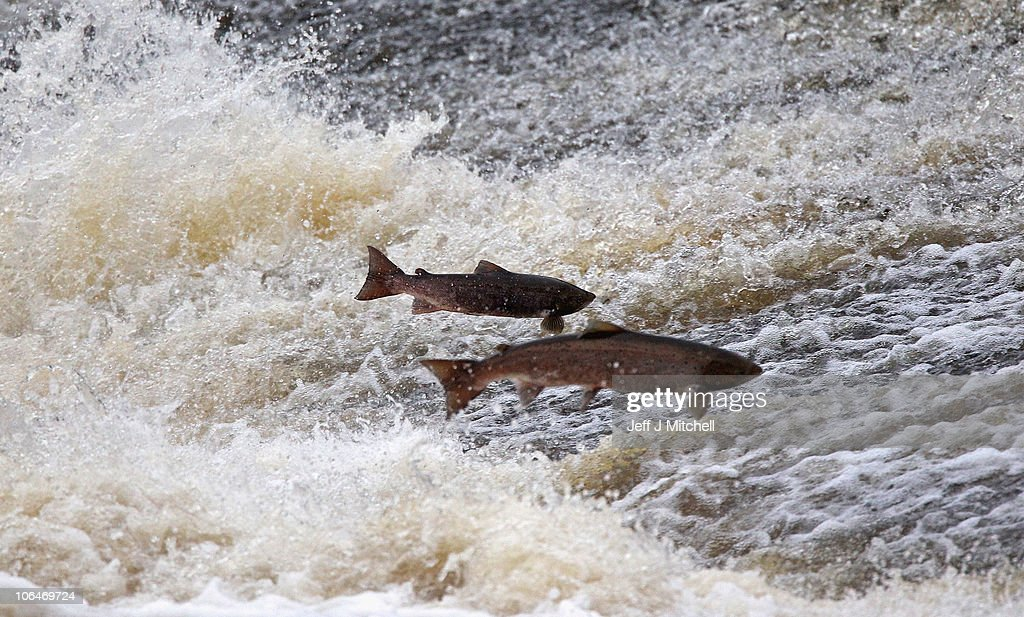 Salmon Return Upstream To Spawn In The River Etterick : News Photo