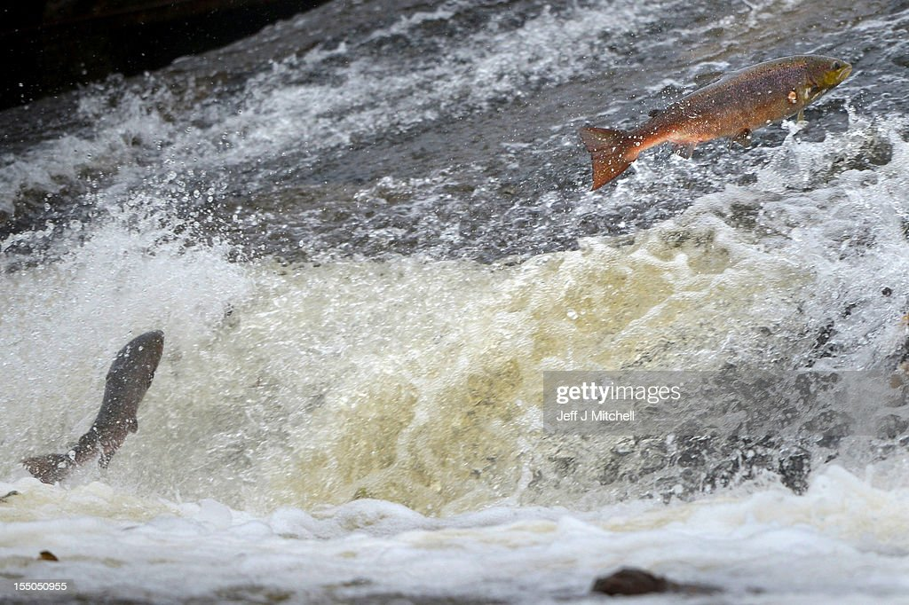 Salmon attempt to leap up the fish ladder in the river Etterick on October 31, 2012 in Selkirk, Scotland. The salmon are returning upstream from the sea where they have spent between two and four winters feeding with many covering huge distances to return to the fresh waters to spawn.