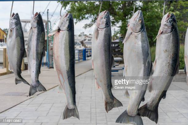 salmon caught by fisherman on the sheboygan river ready for cleaning - ウィスコンシン州シボイガン ストックフォトと画像