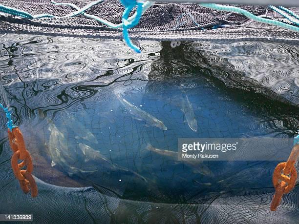Salmon caught in pen on Scottish salmon farm