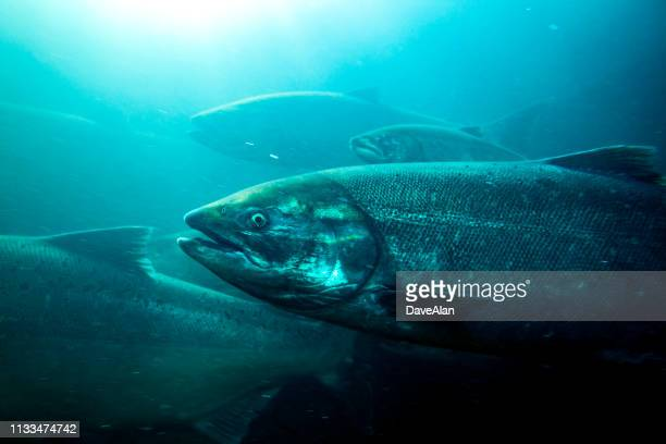 salmon columbia river. - chinook salmon stock photos and pictures