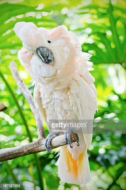 Salmon crested cockatoo sitting on a branch