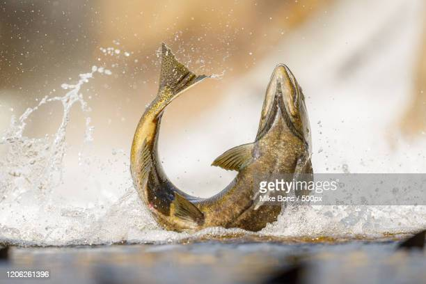 salmon fish jumping with splash above water surface - freshwater stock pictures, royalty-free photos & images