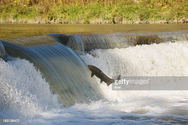 Salmon in mid-air.