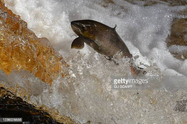 Salmon is seen leaping up the flowing waters of Stainforth Force waterfall near Settle in the Yorkshire Dales, northern England on October 21 during...
