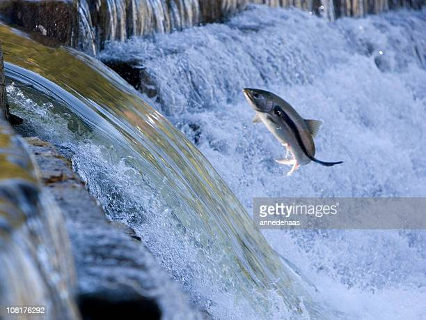 salmon jumping out of water and attacked by sea lamprey - parasite stock photos and pictures