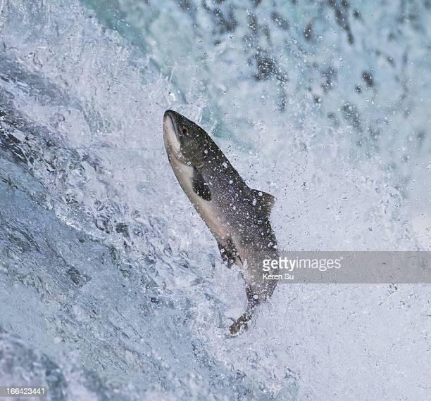 Salmon jumping over Brooks Falls