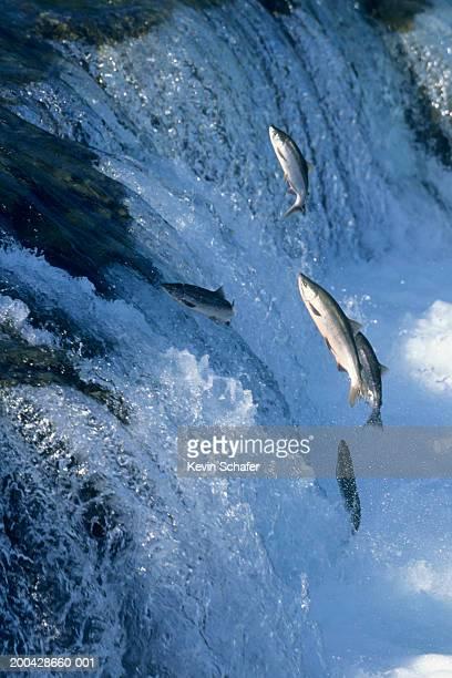 Salmon jumping up falls