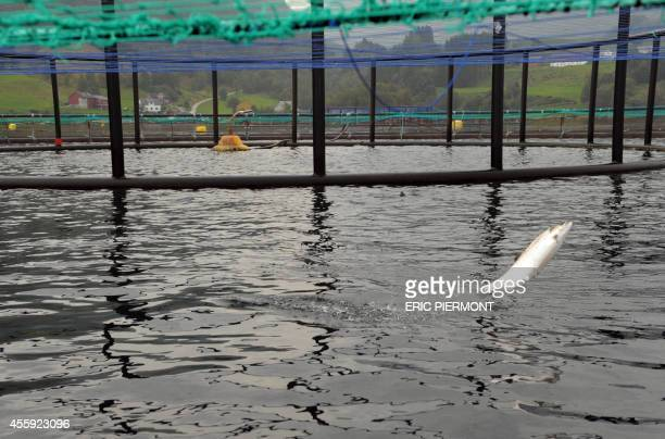 A salmon jumps in a submerged cage in front of the feeding system at a farm of Norwegian world's largest salmon producer Marine Harvest on September...