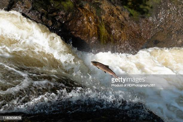 salmon leaping - jumping stock pictures, royalty-free photos & images