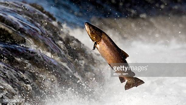 salmon leaping rapids - atlantic ocean stock pictures, royalty-free photos & images