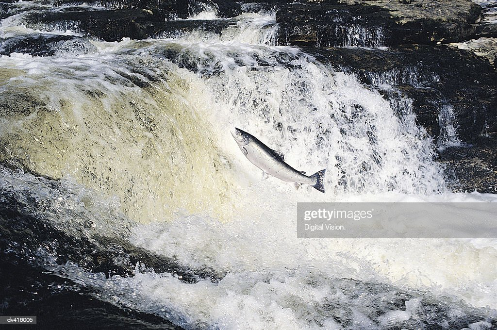 Salmon Leaping, River Tay, Scotland, UK : Stock Photo