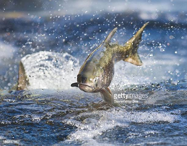 A salmon makes its way up a salmon ladder at Nimbus Hatchery in Rancho Cordova California signaling the start of the spawning season on the American...