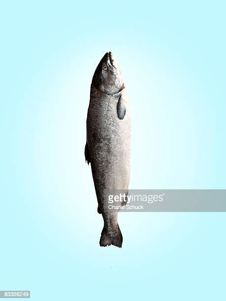 salmon on blue background - salmon animal stock pictures, royalty-free photos & images