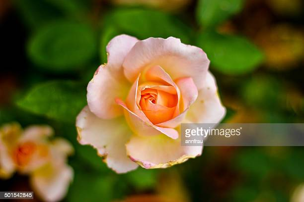 salmon rose - annfrau stock pictures, royalty-free photos & images