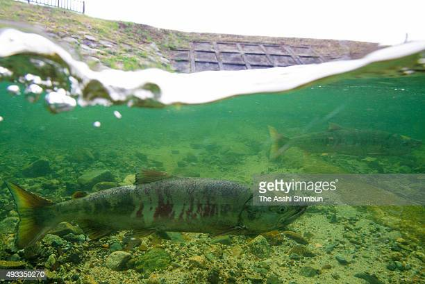 Salmon run in the Kidogawa river a day before fishing resumes on October 17 2015 in Naraha Fukushima Japan It was the first time the fishing...