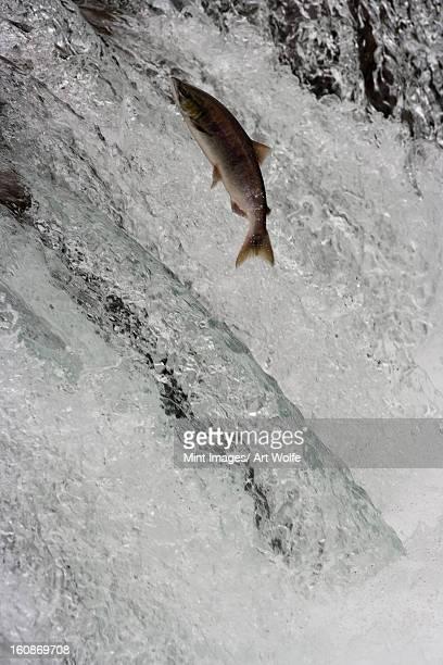 Salmon swimming upstream, Katmai National Park, Alaska, USA
